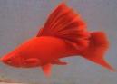 红鱼.jpg